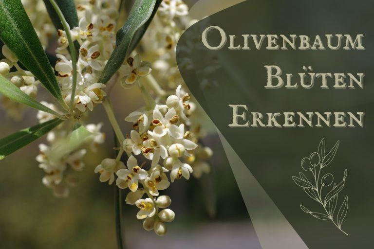 Olivenbaum Blüten erkennen - Titel