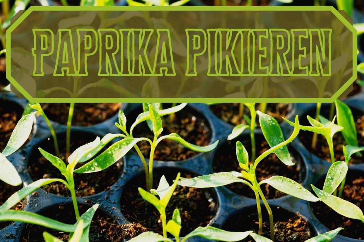 Paprika pikieren - Titel