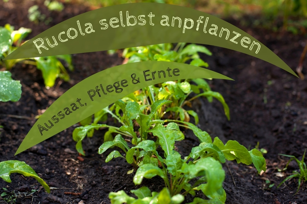 Rucola anpflanzen - Titel