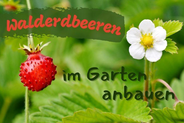 Walderdbeeren im Garten kultivieren - Titel