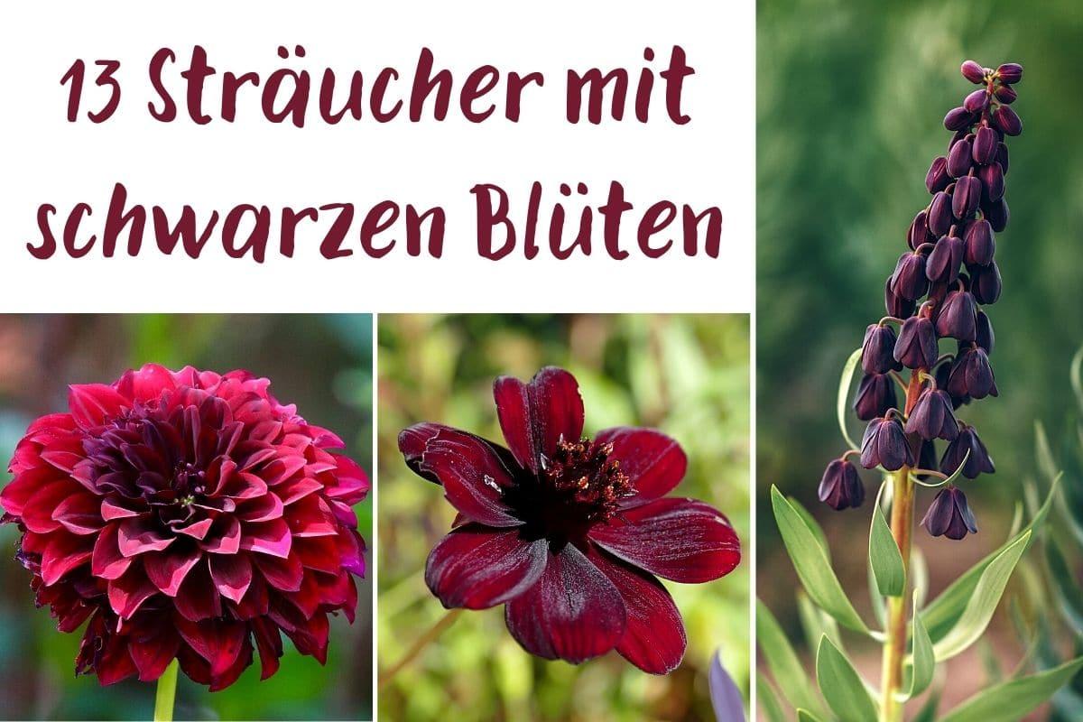 13 Sträucher mit schwarzen Blüten