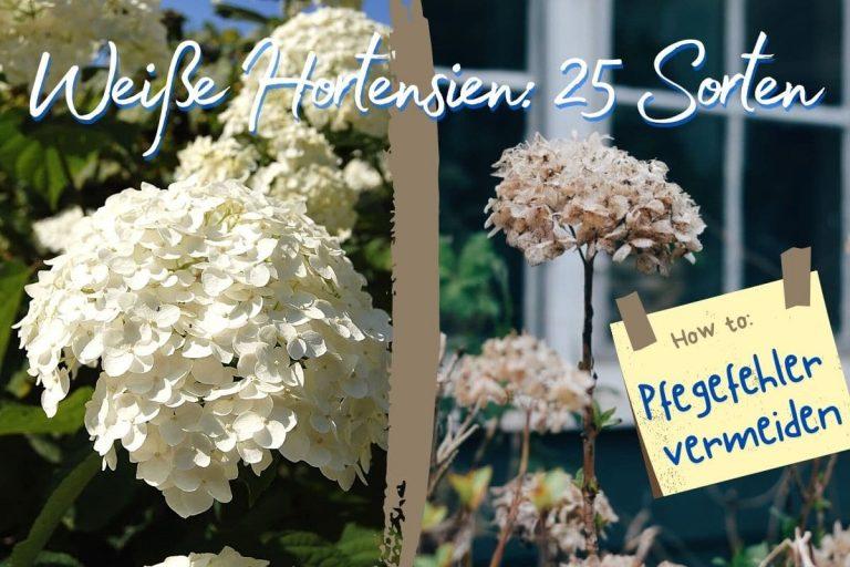 25 Weiße Hortensiensorten
