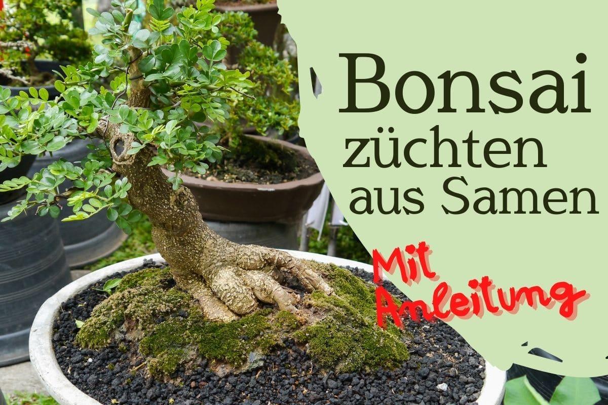 Beitragsbild Bonsai züchten aus Samen