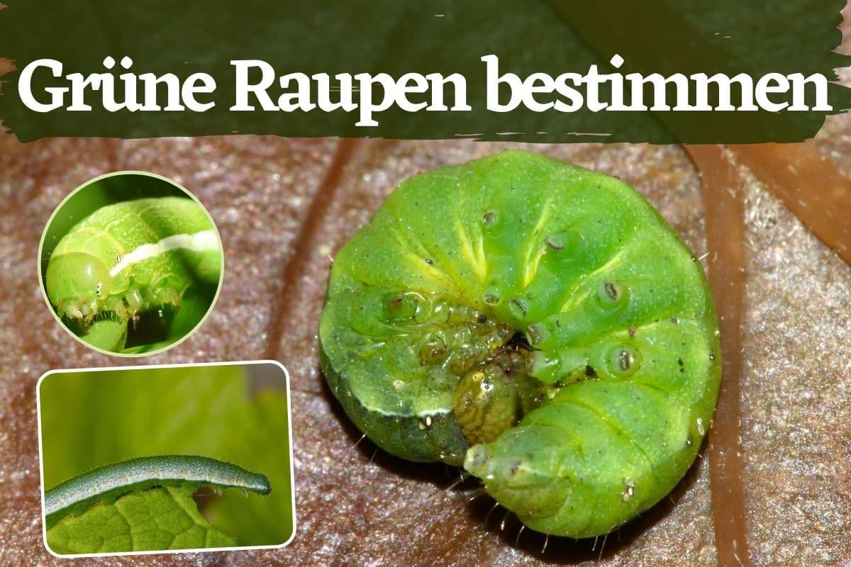 Titelbild Grüne Raupe bestimmen