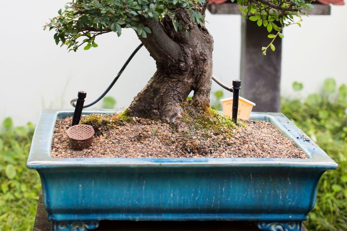 Flache Bonsaischalen sind optimal für die Pflanze.