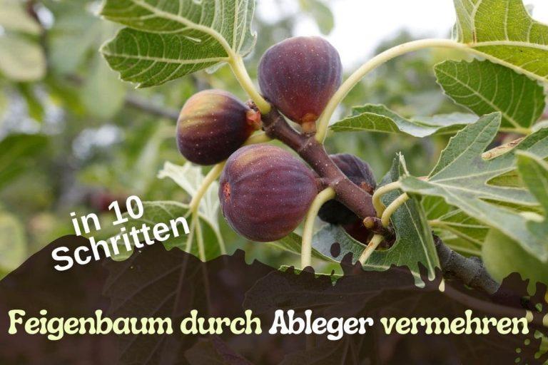 Titelbild Feigenbaum mit Ableger vermehren