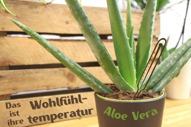 Aloe vera - Bei diesen Temperaturen fühlt sie sich wohl