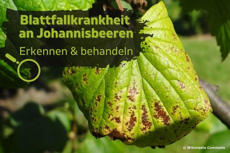 Blattfallkrankheit an Johannisbeeren