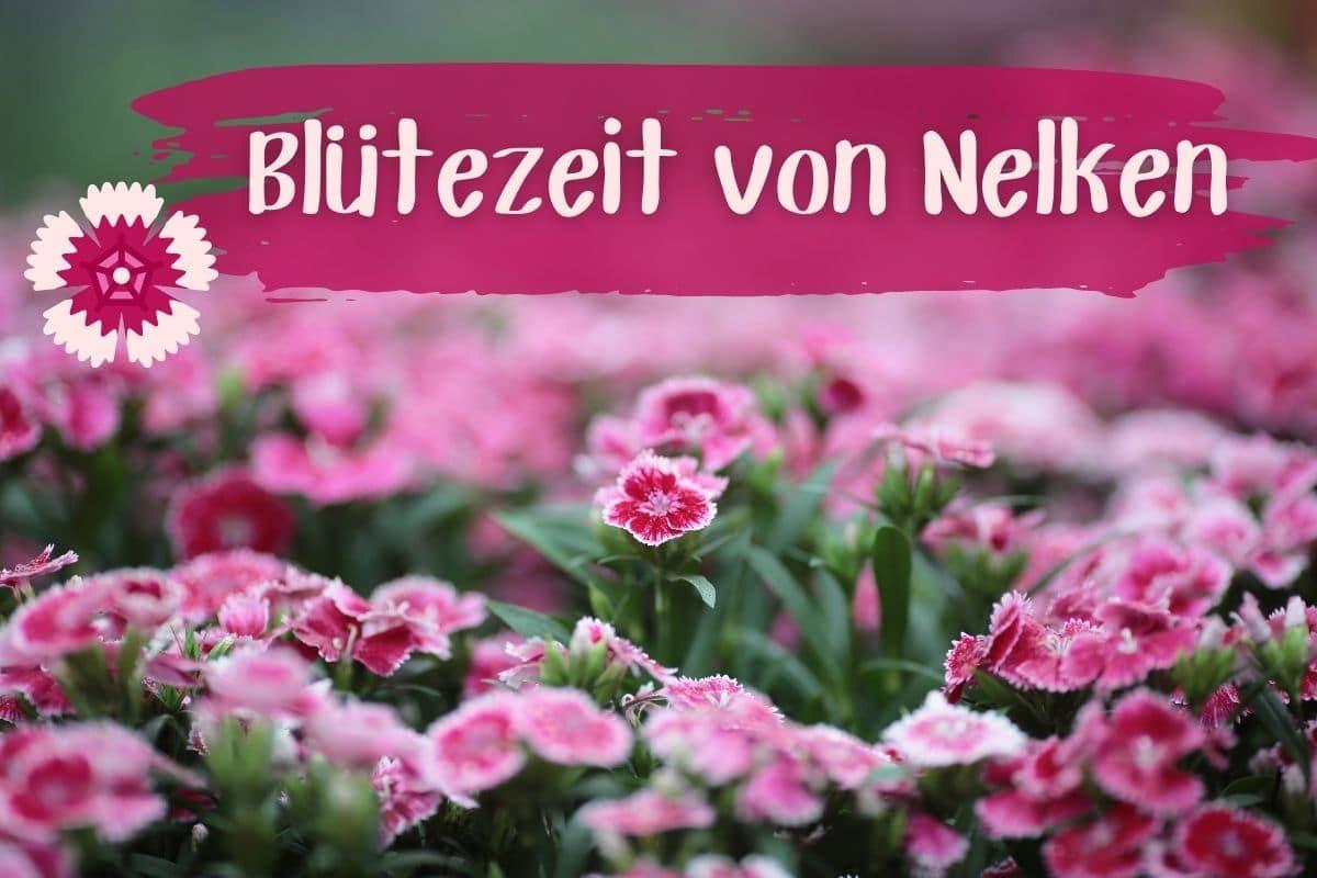 Nelken Blütezeit