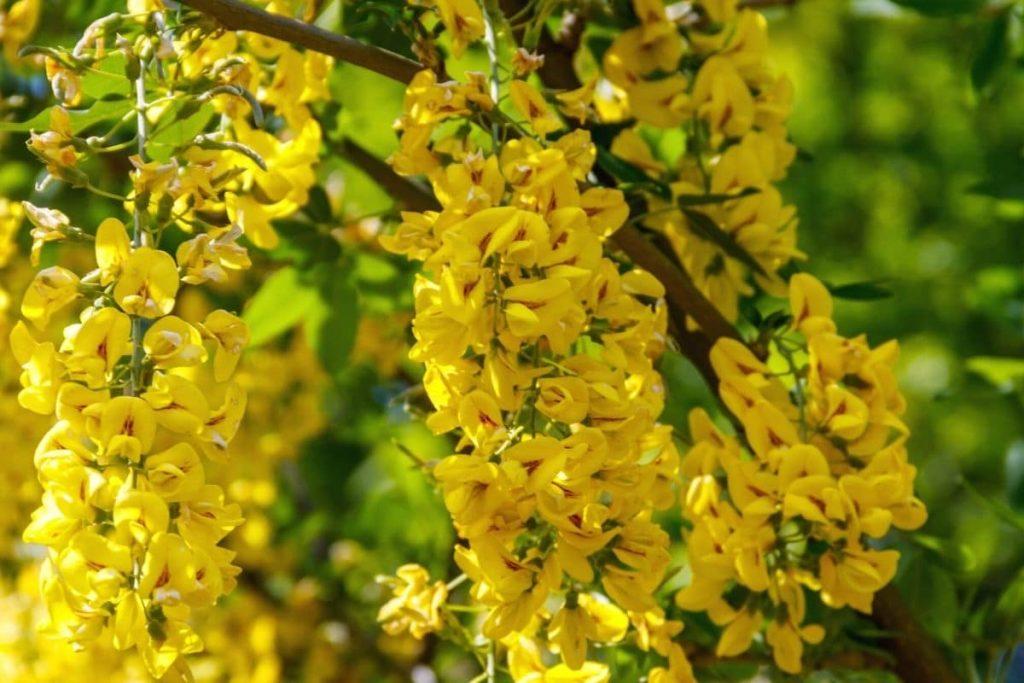 Erbsenstrauch - Caragana arborescens