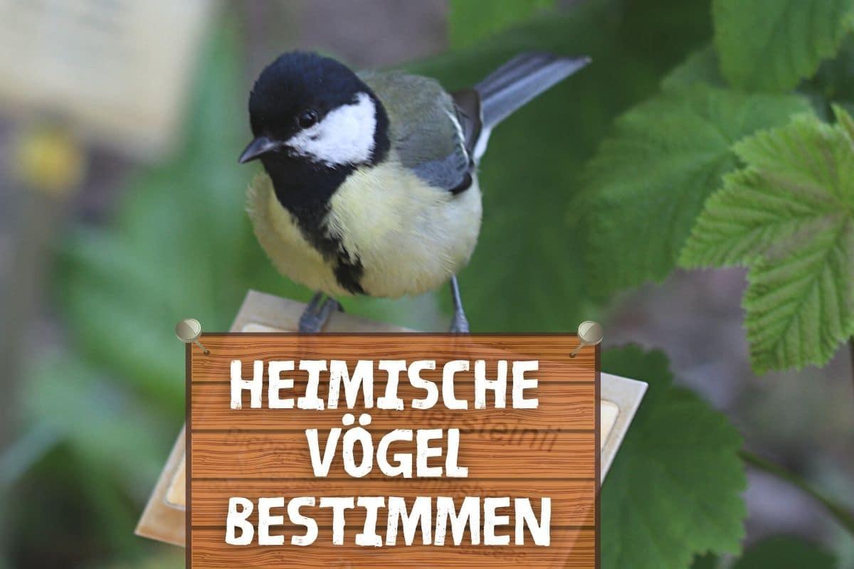 Heimische Vögel bestimmen - Kohlmeise