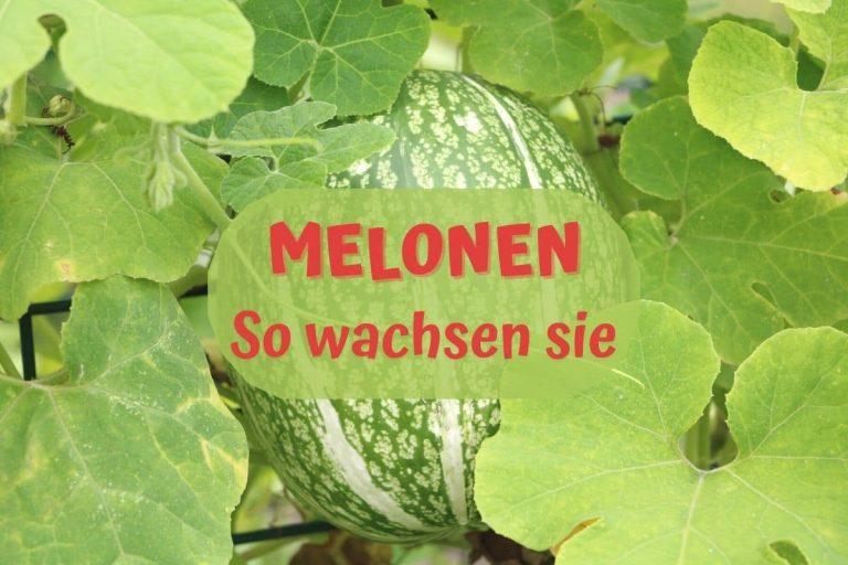 Wo und wie wachsen Melonen