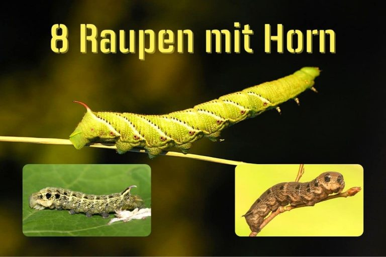 Raupe mit Horn