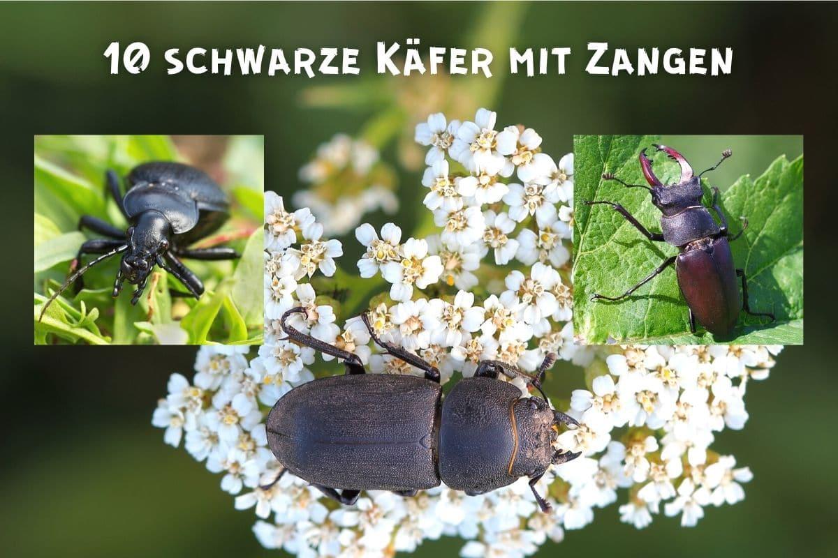 Schwarze Käfer mit Zangen