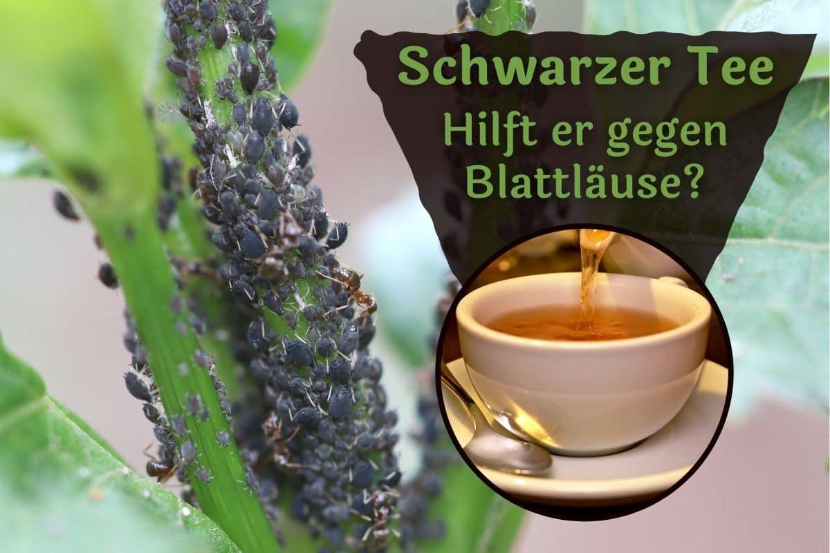 Schwarzer Tee gegen Blattläuse
