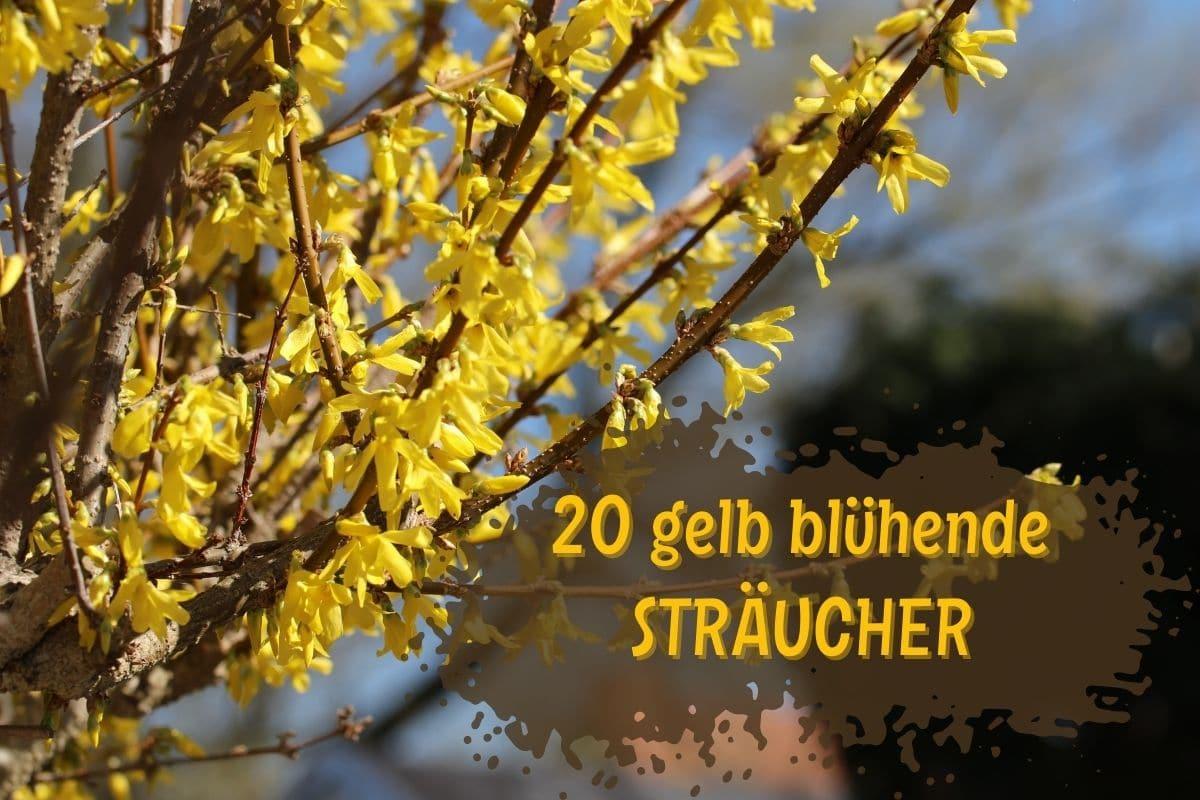 Sträucher mit gelben Blüten - Forsythie