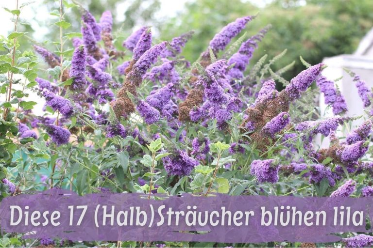 Sträucher mit lila Blüten - Schmetterlingsflieder
