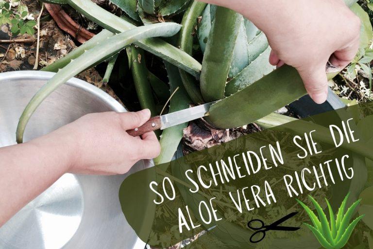 Aloe Vera richtig schneiden - Titel