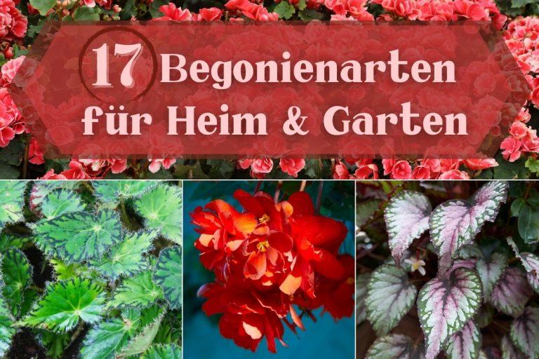 Begonienarten für Heim & Garten - Titel