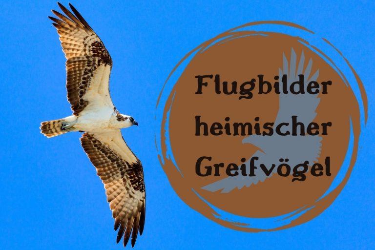 Flugbilder heimischer Greifvögel - Titel