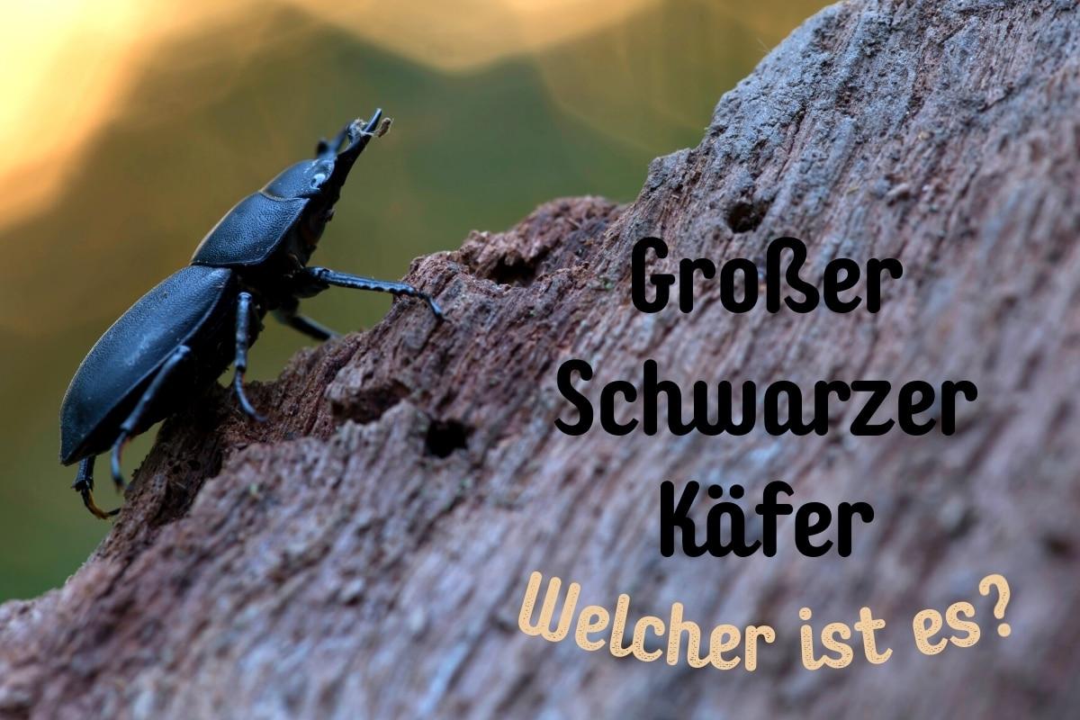 Großer schwarzer Käfer - Titel