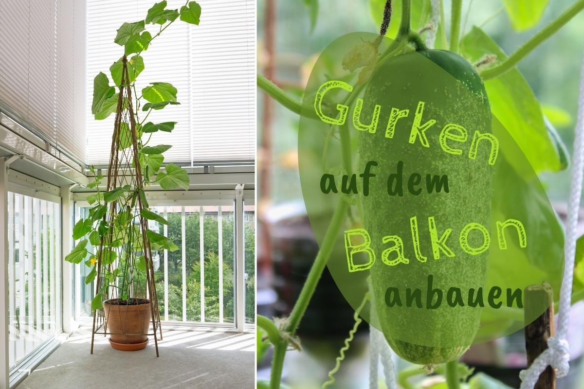 Gurken auf dem Balkon pflanzen - Titel