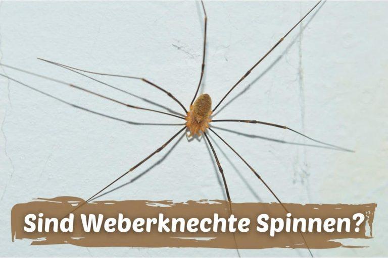 Opa Langbein - Weberknecht - Wandkanker