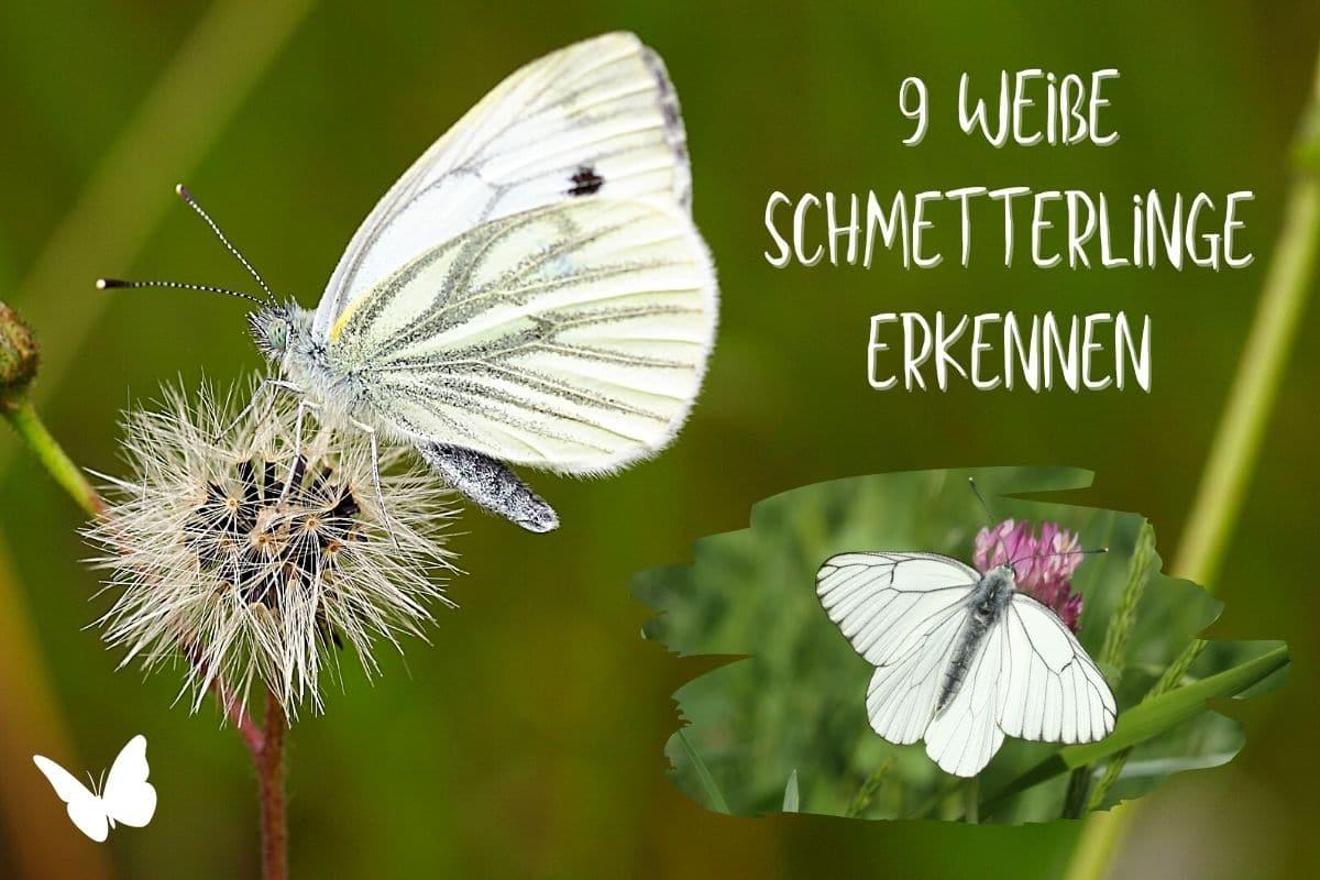 weiße Schmetterlinge erkennen