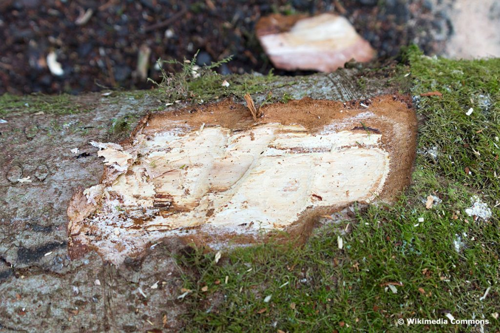 Weißfäule (Korrosionsfäule), Baumpilze