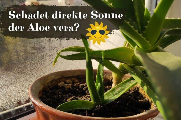 Aloe vera an Fenster in der Sonne