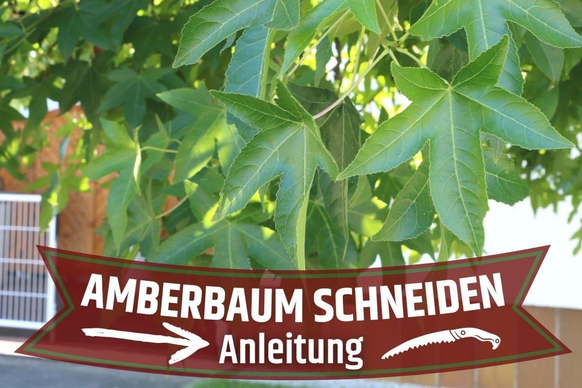 Amberbaum schneiden - Amerikanischer Amberbaum