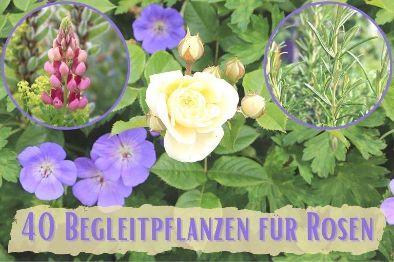 Rosen kombinieren - Begleitpflanzen