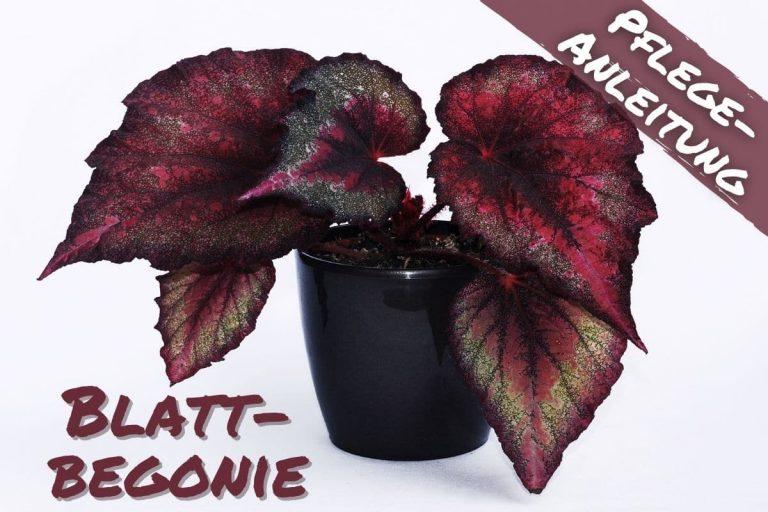 Blattbegonie - Begonia rex