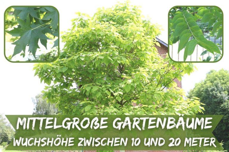 Gartenbäume zwischen 10 und 20 Metern Wuchshöhe