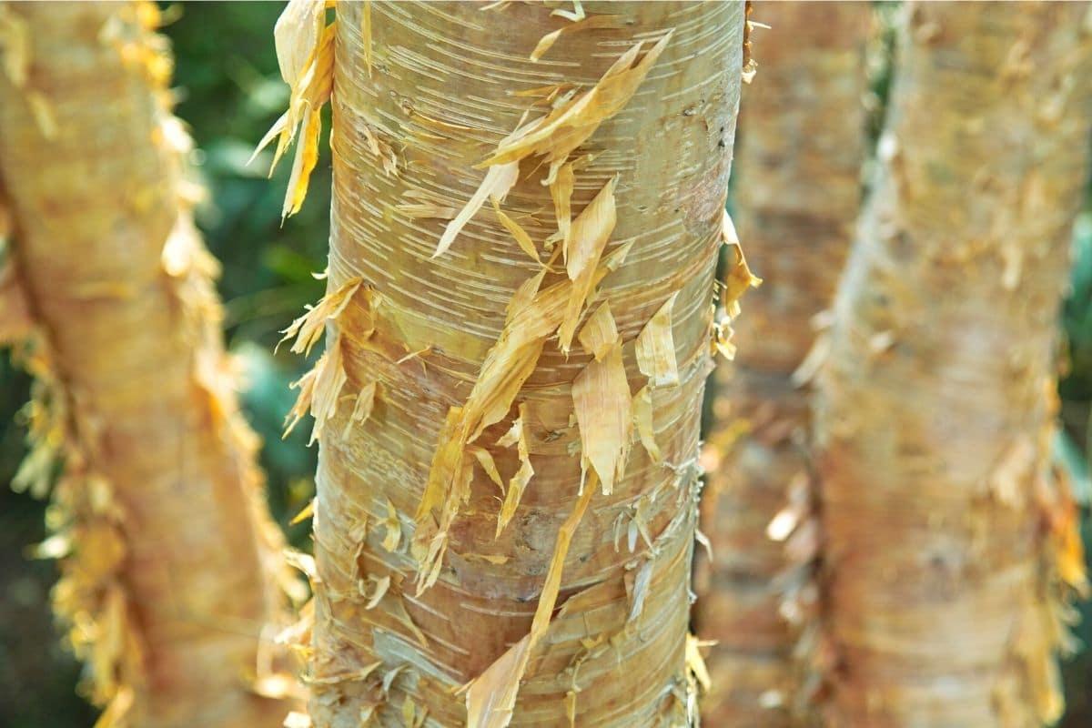 Gold-Birke - Betula ermanii