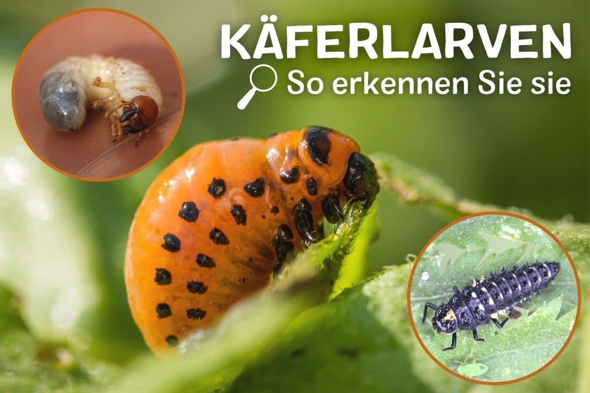 Käferlarven erkennen und bestimmen