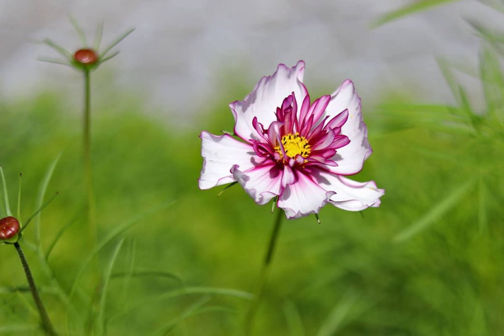 Schmuckkörbchen - Cosmos bipinnatus