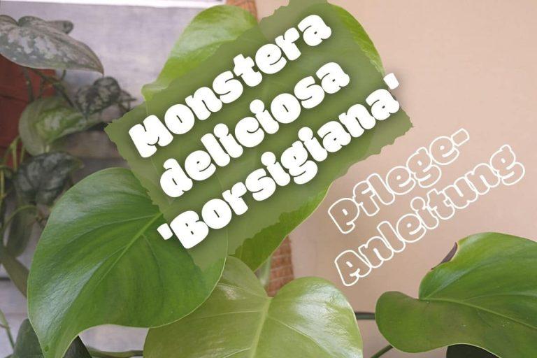 Monstera deliciosa borsigiana