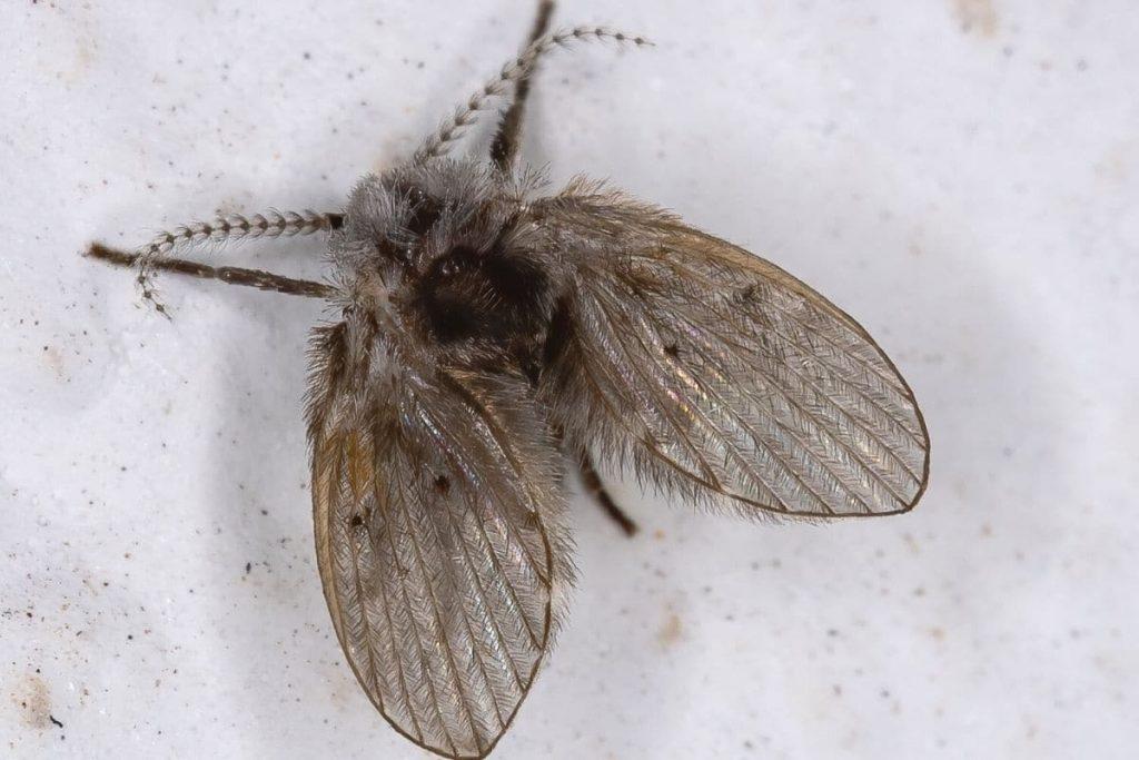 Schmetterlingsmücke - Clogmia albipunctata