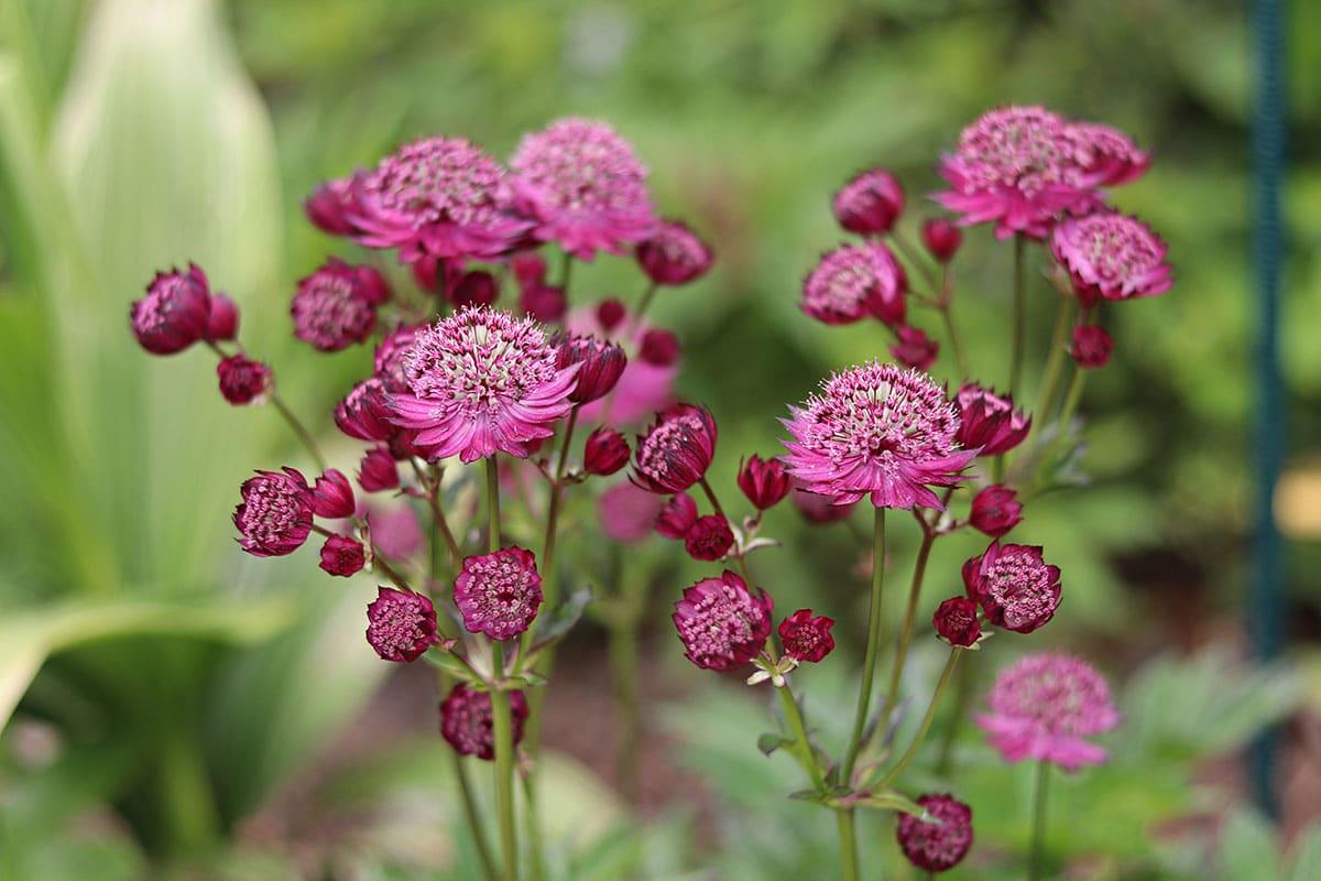 Sterndolden (Astrantia), Begleitpflanzen