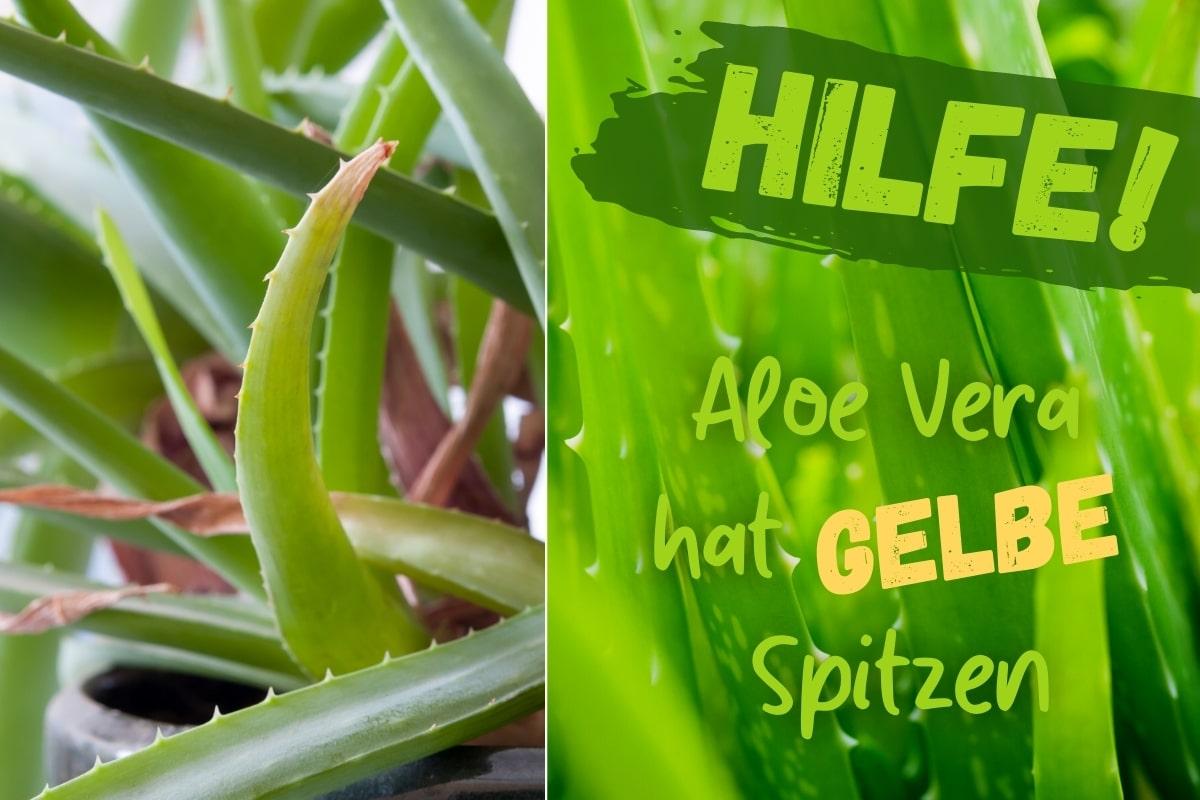 Aloe vera hat gelbe Blätter - Titel