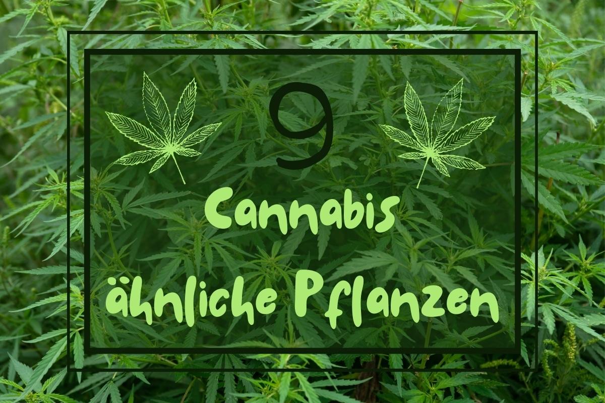 Cannabis ähnliche Pflanzen - Titel