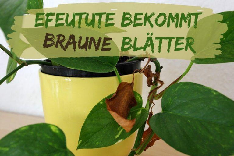 Efeutute bekommt braune Blätter - Titel