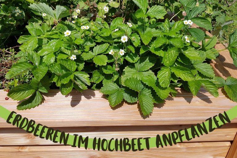 Erdbeeren im Hochbeet anpflanzen - Titel