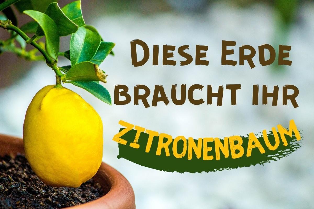 Ideale Erde für den Zitronenbaum - Titel