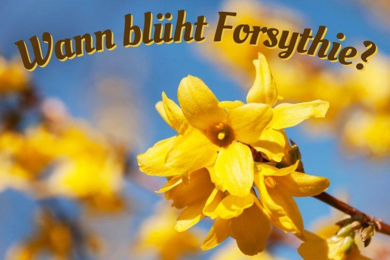 Forsythienblüte - Titel