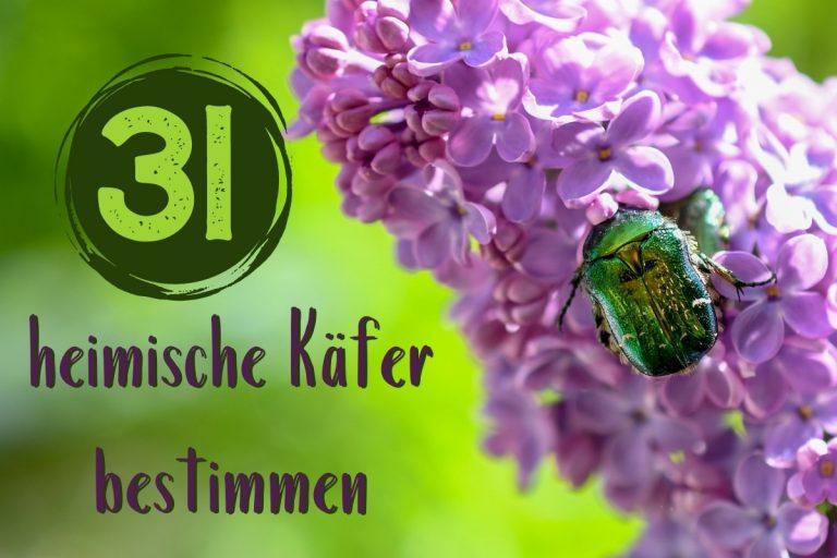 heimische Käfer bestimmen - Titel