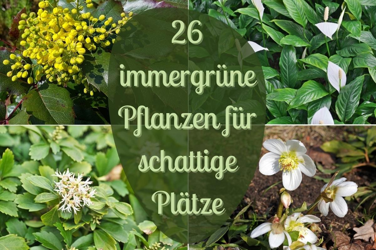 Immergrüne Pflanzen für schattige Plätze - Titel