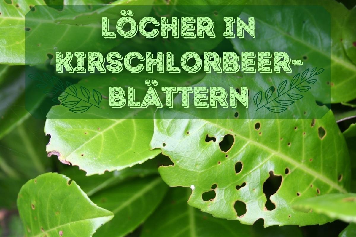 Löcher in Kirschlorbeer-Blättern - Titel