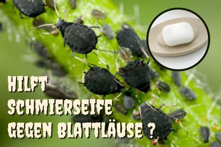Schmierseife gegen Blattläuse - Titel